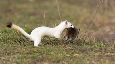Getting a shot of a weasel running was tough. It's was like trying to photograph a kestrel in flight....through the weed!