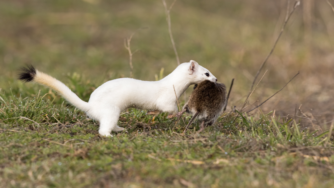 Long-tailed Weasel by Mark Summers