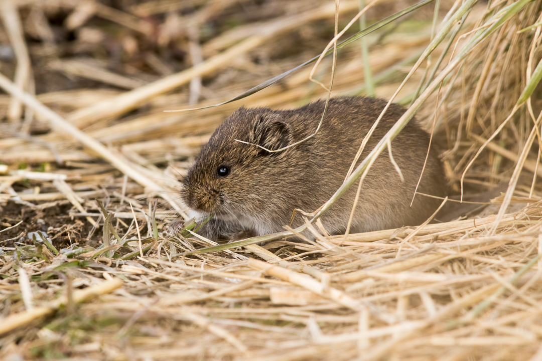 Vole Eating Grass