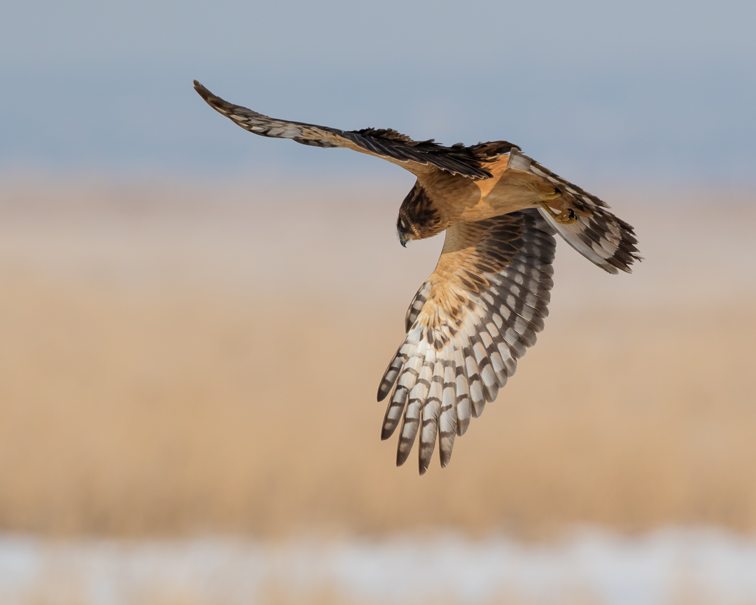 Northern Harrier by Mark Summers