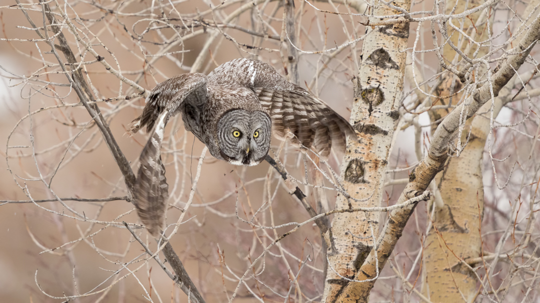 Great Gray Owl in Flight by Mark Summers