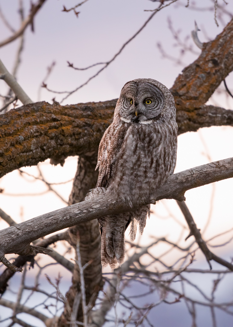 Great Gray Owl by Mark Summers