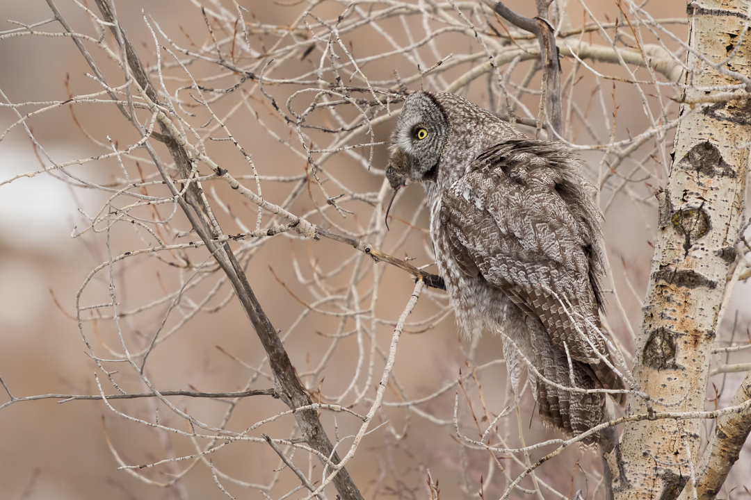 Great Gray Owl with Rat by Mark Summers