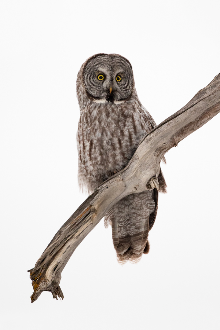 Great Gray Owl Mark Summers